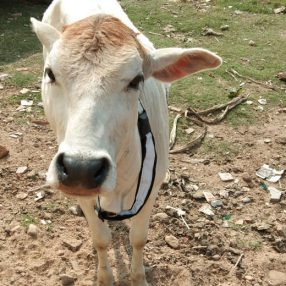 Cow Reflective Collars